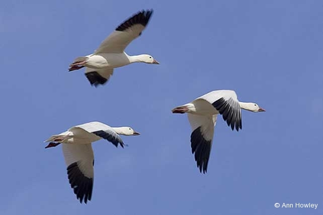 Three Geese, New Mexico