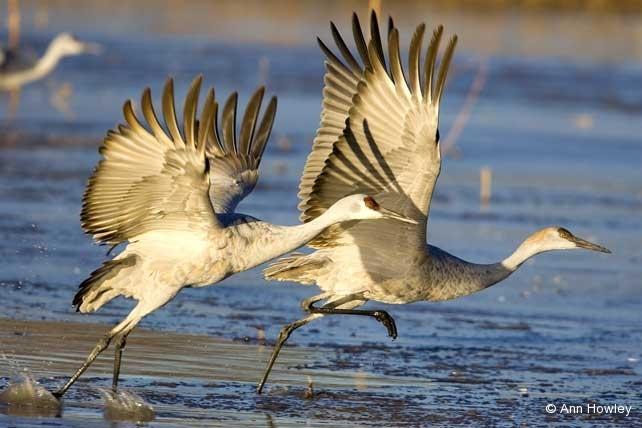 Two Cranes #4, New Mexico
