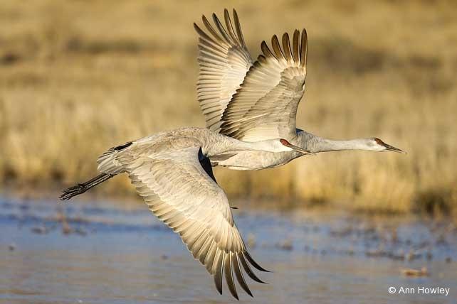 Two Cranes, New Mexico