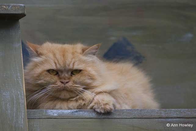 Astoria Cat, Oregon