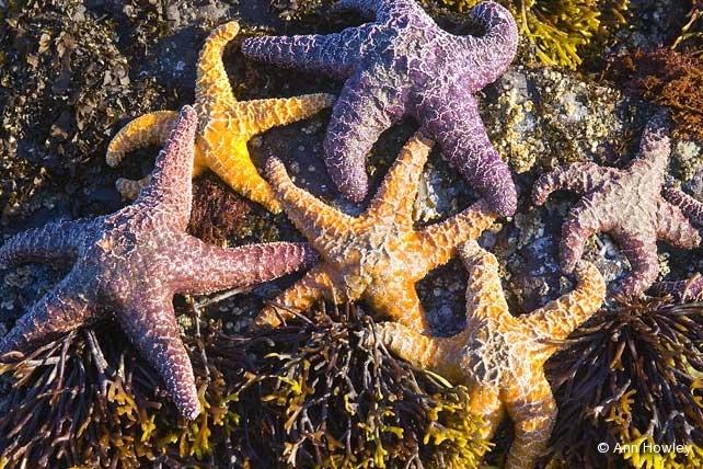 Starfish, Oregon