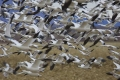 Snow Geese Flair, New Mexico