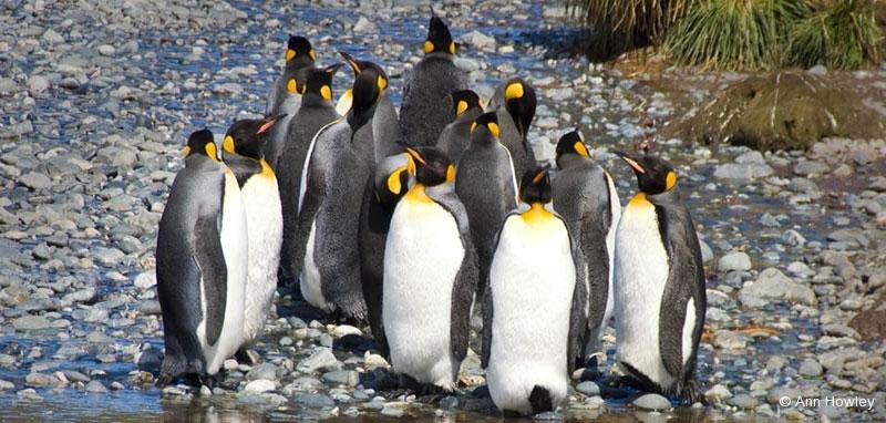 King Penguin Reflection