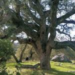 Crofford Tree